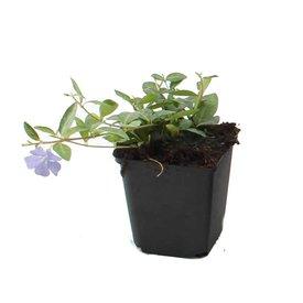 Fleur.nl - Vinca minor
