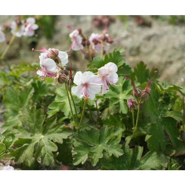 Geranium cantabrigiense 'Biokovo'