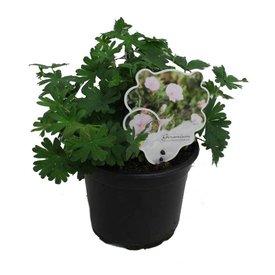 Fleur.nl - Geranium sanguineum var. striatum