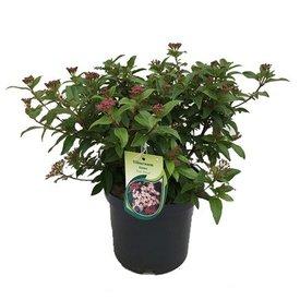 Fleur.nl - Viburnum tinus 'Eve Price'