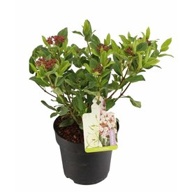 Fleur.nl - Viburnum tinus 'Gwenllian'