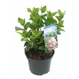 Fleur.nl - Viburnum tinus 'Lisa Rose'