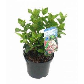 Fleur.nl - Viburnum tinus 'Ladybird'