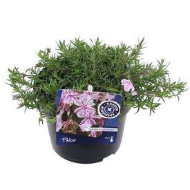 Fleur.nl - Phlox subulata 'Candy Striper'