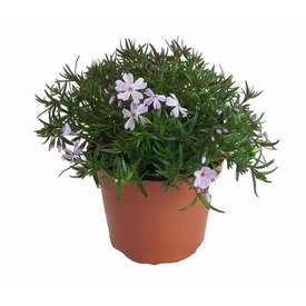 Fleur.nl - Phlox subulata ' Mac Daniels' Emerald Cushion Blue'