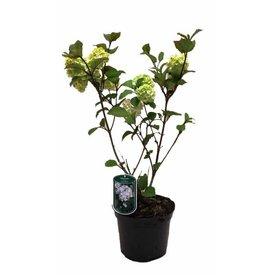 Fleur.nl - Viburnum plicatum Rotundifolium