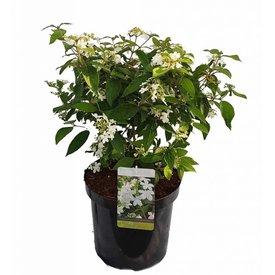 Fleur.nl - Viburnum plicatum 'Watanabe'
