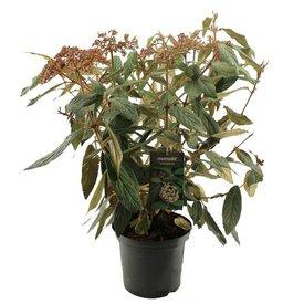 Fleur.nl - Viburnum rhytidophyllum