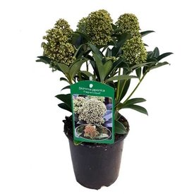 Fleur.nl - Skimmia japonica 'Fragrant Cloud' (Mannelijk)