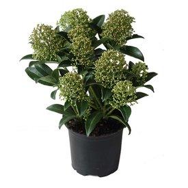 Fleur.nl - Skimmia japonica 'Marlot' (Mannelijk)
