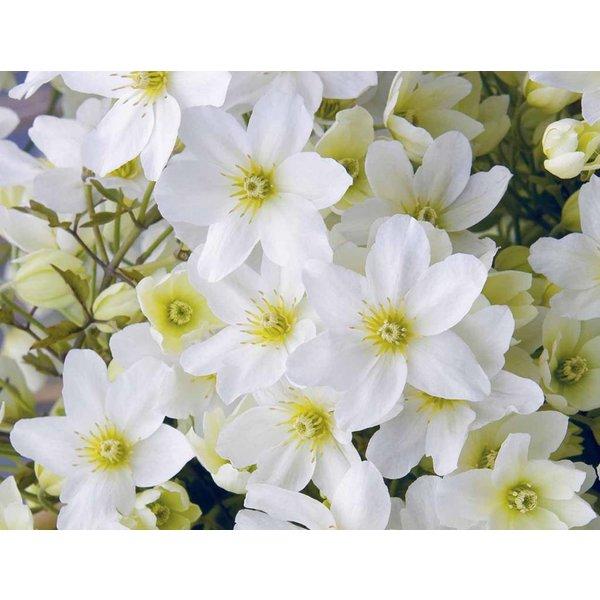 Clematis cartmanii 'White Abundance'