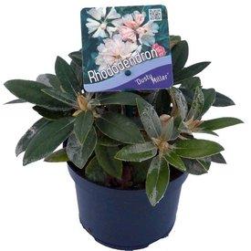 Fleur.nl - Rhododendron yakushimanum 'Dusty Miller'