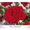 Rosa 'Nina Weibull'