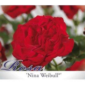 Fleur.nl - Rosa 'Nina Weibull'