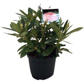 Fleur.nl - Rhododendron yakushimanum 'Percy Wiseman'