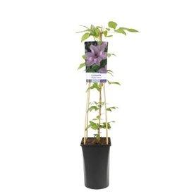 Fleur.nl - Clematis patens 'Hagley Hybrid'