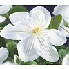 Clematis patens 'Madame le Coultre'