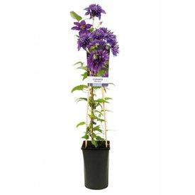 Fleur.nl - Clematis patens 'Multi Blue'