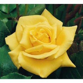 Fleur.nl - Rosa 'Sunsilk'
