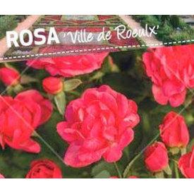 Fleur.nl - Rosa 'Ville de Roeulx'