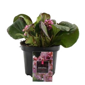 Fleur.nl - Bergenia cordifolia
