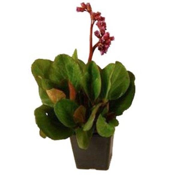 Bergenia cordifolia 'Purpurea' Schoenlappersplant
