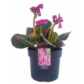 Fleur.nl - Bergenia cordifolia 'Eroica'