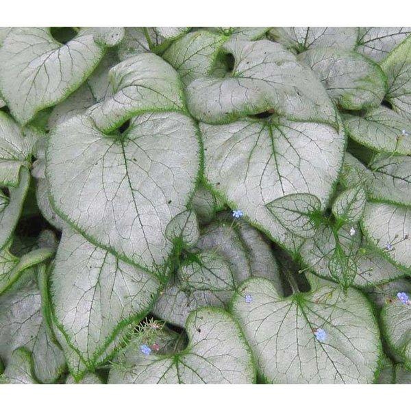 Brunnera macrophylla 'Looking Glass' vergeet-mij-nietje