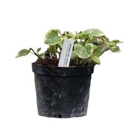 Fleur.nl - Brunnera macrophylla 'Hadspen Cream'