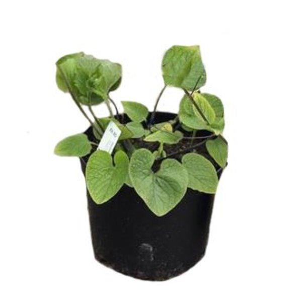 Brunnera macrophylla 'Betty Bowring' vergeet-mij-nietje