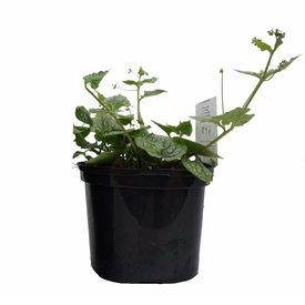 Fleur.nl - Brunnera macrophylla 'Mr. Morse'