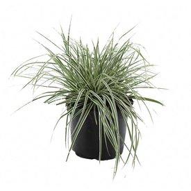 Fleur.nl - Carex oshimensis 'Everest'
