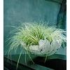 Carex oshimensis 'Everest' Zegge