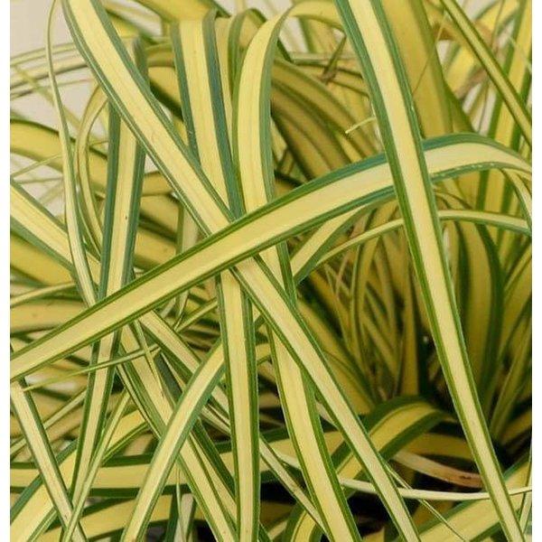 Carex oshimensis 'Evergold' Zegge