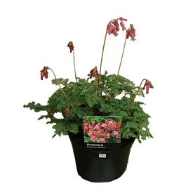 Fleur.nl - Dicentra 'King of Hearts'
