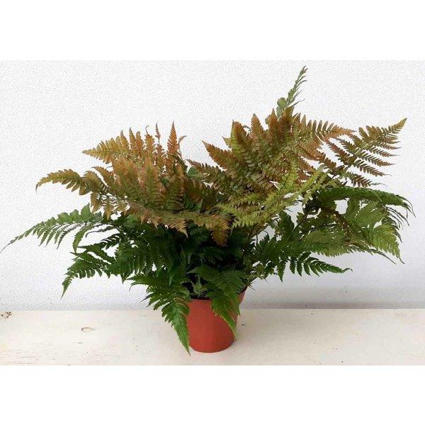 Dryopteris erythrosora Rode sluiervaren