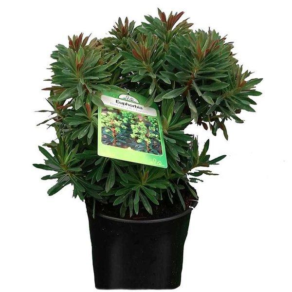 Euphorbia 'Redwing' Wolfsmelk