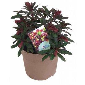 Fleur.nl - Euphorbia amygdaloides 'Purpurea'