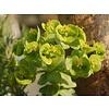 Euphorbia amygdaloides 'Robbiae' Amandelwolfsmelk