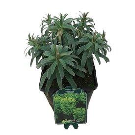 Fleur.nl - Euphorbia characias wulfenii