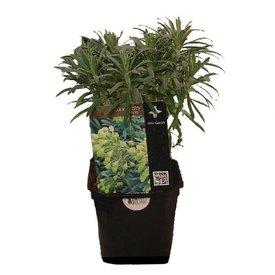 Fleur.nl - Euphorbia cyparissias