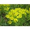 Euphorbia cyparissias Cipreswolfsmelk