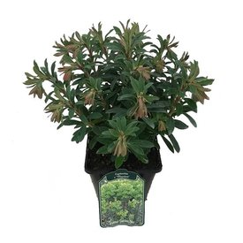 Fleur.nl - Euphorbia martinii