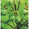 Euphorbia martinii Amandelwolfsmelk