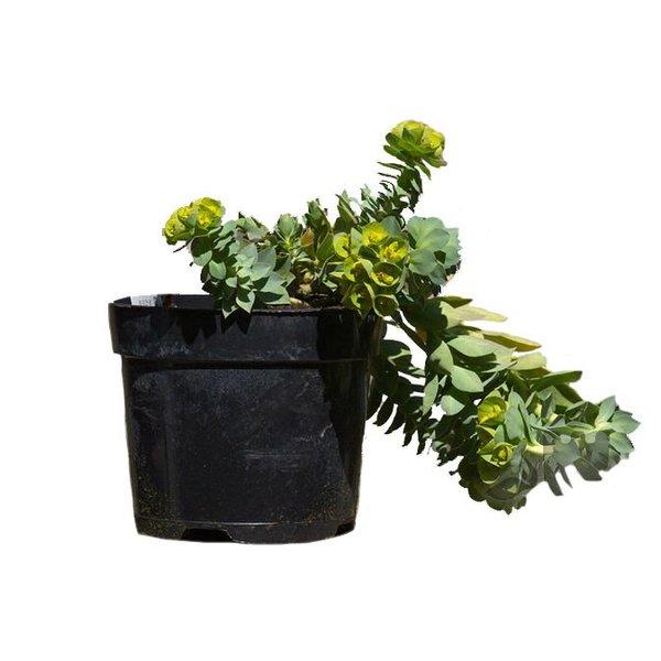 Euphorbia myrsinites Wolfsmelk