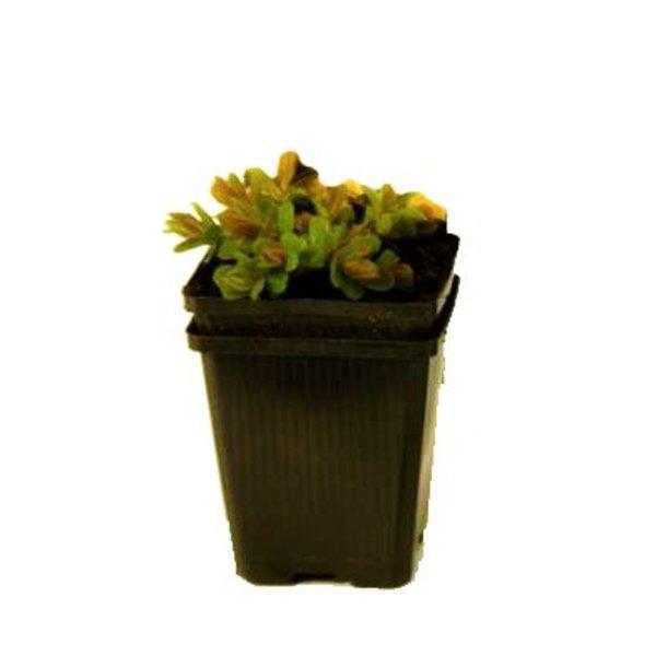 Euphorbia polychroma Wolfsmelk