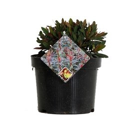 Fleur.nl - Euphorbia polychroma 'Purpurea'
