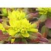 Euphorbia polychroma 'Purpurea' Wolfsmelk