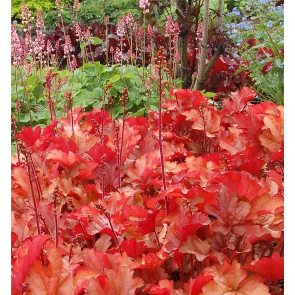 Heuchera 'Peach Flambe' Purperklokje