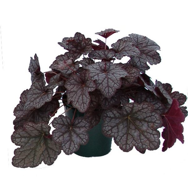Heuchera 'Velvet Night' Purperklokje